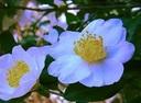 167-山茶花.jpg
